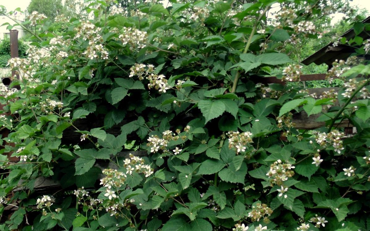 Кусты ежевики цветы фото