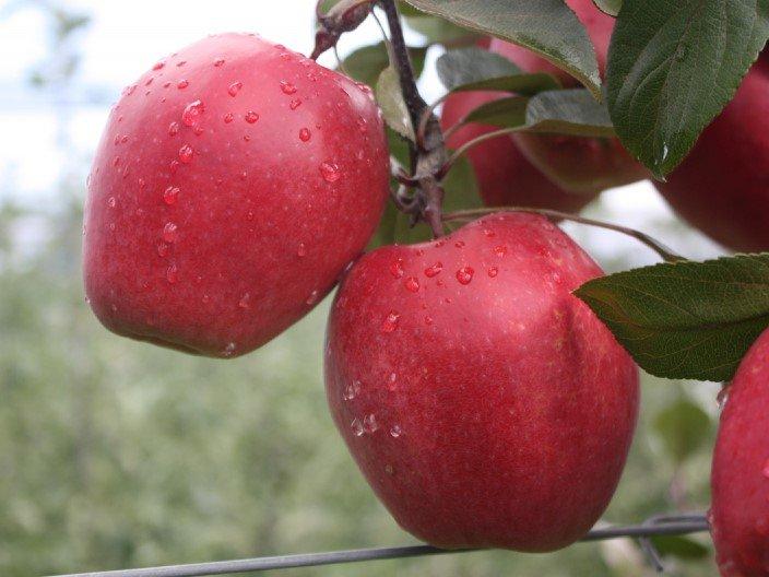 то, сорта красных яблок фото с названием морковь имеет насыщенный